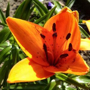 Bild: Feuerlilie Lilium bulbiferum