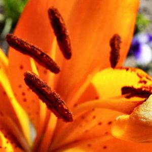 Feuerlilie Lilium bulbiferum 02