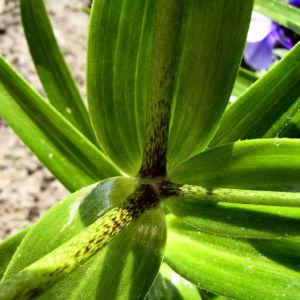 Feuerlilie Lilium bulbiferum 03