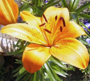 Feuerlilie Lilium bulbiferum 05