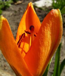 Feuerlilie Lilium bulbiferum 07