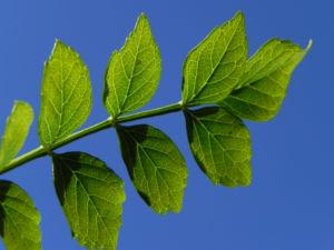 Feuerranke Blatt grün Pyrostegia venusta