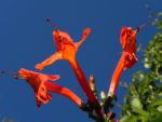 Feuerranke Blüte orange Pyrostegia venusta