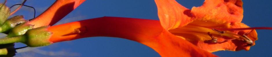 Anklicken um das ganze Bild zu sehen Feuerranke Blüte orange Pyrostegia venusta