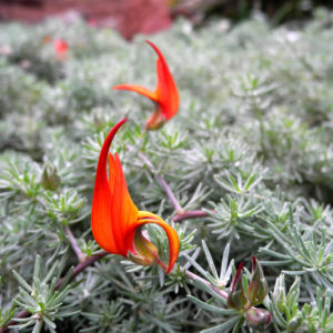 Feuerroter Hornklee Bluete rot Lotus pyranthus 02