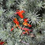 Feuerroter Hornklee Bluete rot Lotus pyranthus 05