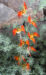 Zurück zum kompletten Bilderset Feuerroter Hornklee Blüte rot Lotus pyranthus