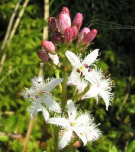 Fieberklee Bitterklee Bluete weiss rose Menyanthes trifoliata 01