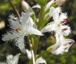 Fieberklee Bitterklee Bluete weiss rose Menyanthes trifoliata 02
