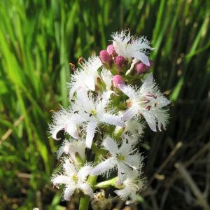 Fieberklee Bitterklee Bluete weiss rose Menyanthes trifoliata 05