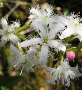 Fieberklee Bitterklee Bluete weiss rose Menyanthes trifoliata 06