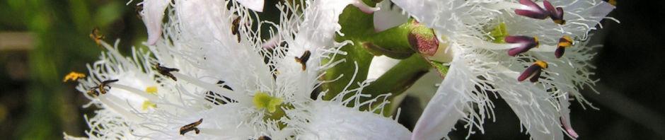 fieberklee-bitterklee-bluete-weiss-rose-menyanthes-trifoliata