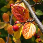 Bild: Filz Zwergmispel Frucht rot Blatt Cotoneaster tomentosa