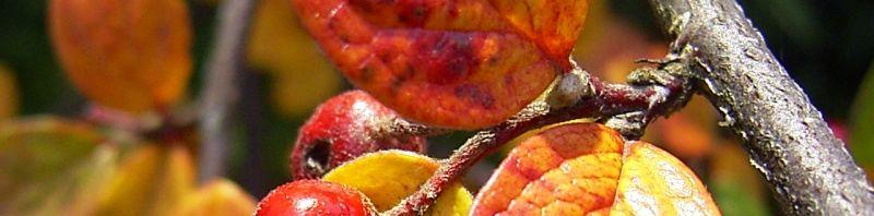 Anklicken um das ganze Bild zu sehen Filz Zwergmispel Frucht rot Blatt Cotoneaster tomentosa
