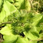 Filzige Klette gruen Arctium tomentosum 01