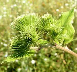 Filzige Klette gruen Arctium tomentosum 02