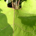 Filzige Klette gruen Arctium tomentosum 03