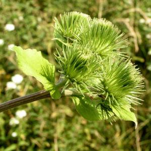 Filzige Klette gruen Arctium tomentosum 04