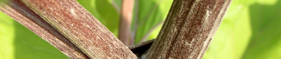 filzige-klette-blatt-gruen-arctium-tomentosum