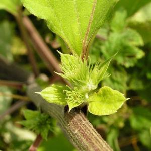 Filzige Klette gruen Arctium tomentosum 07
