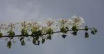 Bild: Filziger Schneeball Blüte weiß Viburnum tomentosum