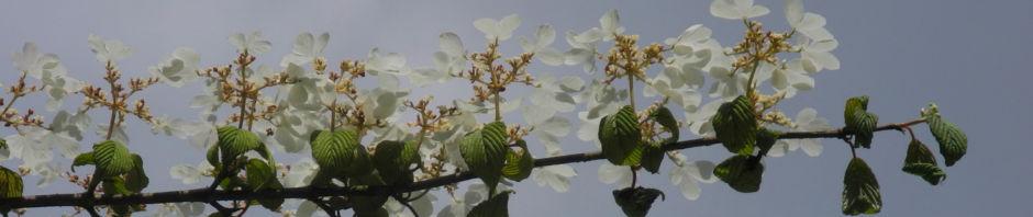 Anklicken um das ganze Bild zu sehen Filziger Schneeball Blüte weiß Viburnum tomentosum