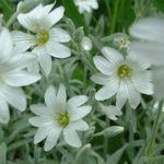 Bild:  Filziges Hornkraut Blüte weiß Cerastium tomentosum var columne