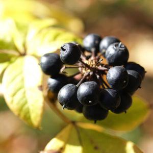 Fingeraralie Henrys Frucht schwarz Blatt gelb Eleutherococcus henryi 01
