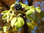 Fingeraralie Henrys Frucht schwarz Blatt gelb Eleutherococcus henryi 02
