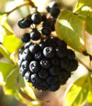 Fingeraralie Henrys Frucht schwarz Blatt gelb Eleutherococcus henryi 05