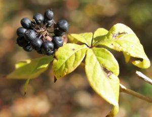 Fingeraralie Henrys Frucht schwarz Blatt gelb Eleutherococcus henryi 07