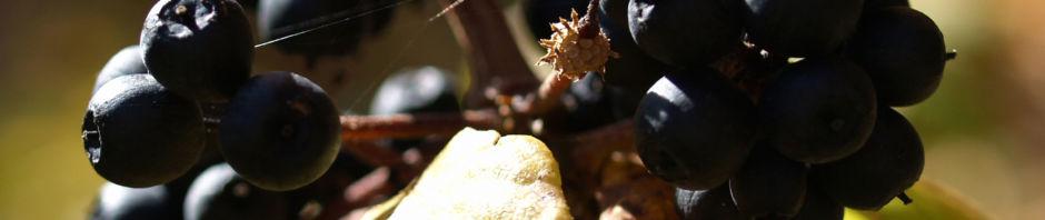 Anklicken um das ganze Bild zu sehen Fingeraralie Henrys Frucht schwarz Blatt gelb Eleutherococcus henryi