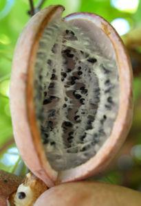 Fingerblaettrige Akebie Frucht Blatt Akebia quinata 02