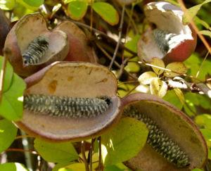 Fingerblaettrige Akebie Frucht Blatt Akebia quinata 06