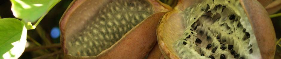 Anklicken um das ganze Bild zu sehen Fingerblättrige Akebie Frucht Blatt Akebia quinata