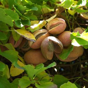 Fingerblaettrige Akebie Frucht Blatt Akebia quinata 11