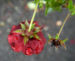 Zurück zum kompletten Bilderset Fingerkraut Hybride Blüte knallrot Potentilla x hybrida