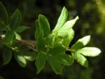 Fingerstrauch Blatt gruen Potentilla fruticosa 04