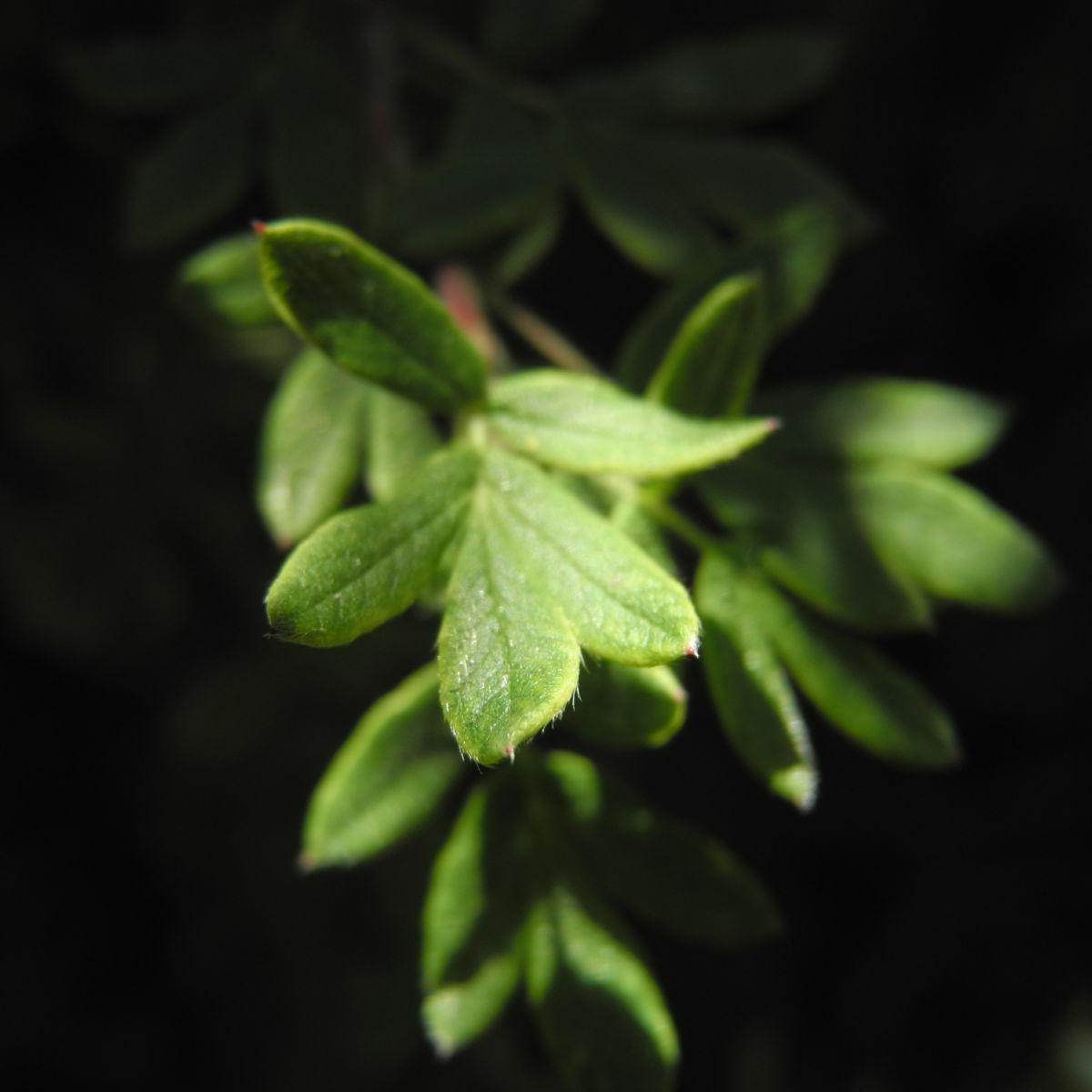 Fingerstrauch Blatt gruen Potentilla fruticosa