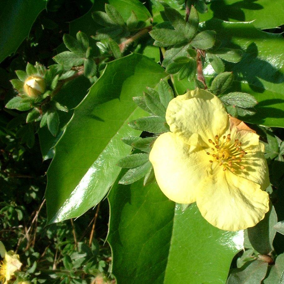 Fingerstrauch Bluete gelb Potentilla fruticosa