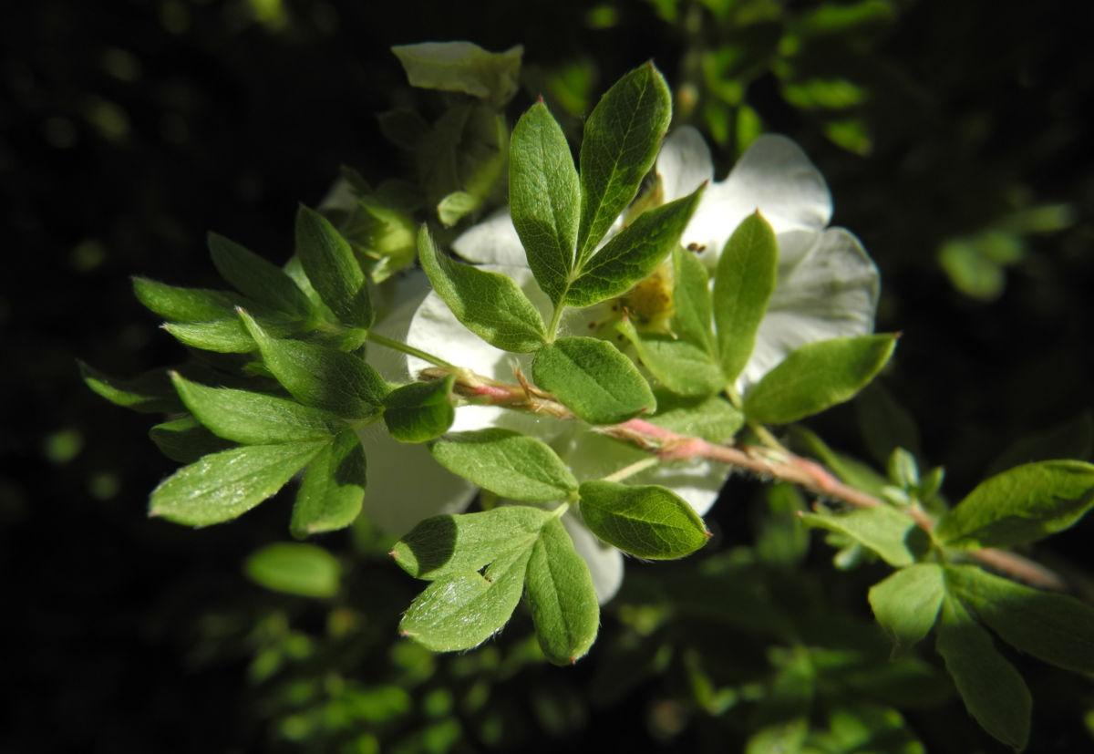 Fingerstrauch Bluete weiß Potentilla fruticosa