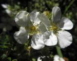 Bild: Fingerstrauch Blüte weiß Potentilla fruticosa