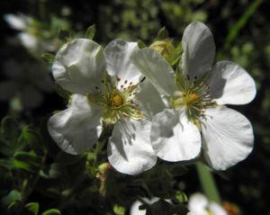 Fingerstrauch Blüte weiß Potentilla fruticosa