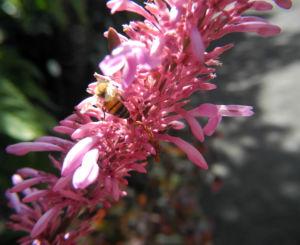 Firespike Bluete rosa Odontonema callistachym 09
