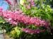 Zurück zum kompletten Bilderset Firespike Blüte rosa Odontonema callistachym