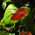 Flamingoblume Bluete rot gruen Anthurium andreanum 07
