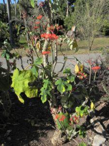 Flaschenpflanze Jatropha podagrica 02