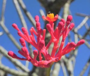 Flaschenpflanze Blüte pink Jatropha podagrica 04