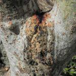 Flaschenpflanze Rinde grau Jatropha podagrica 07