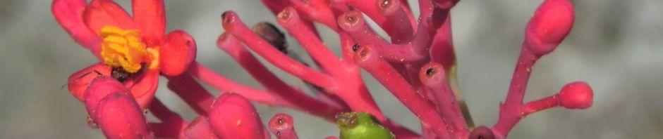 flaschenpflanze-bluete-pink-jatropha-podagrica